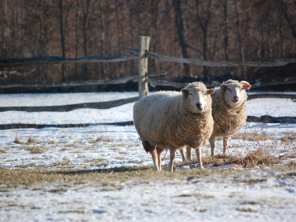 Two sheep outside in winter